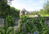 Ben avoids taking a dive in a sewer while negotiating a fence and wall along the Miri shortcut